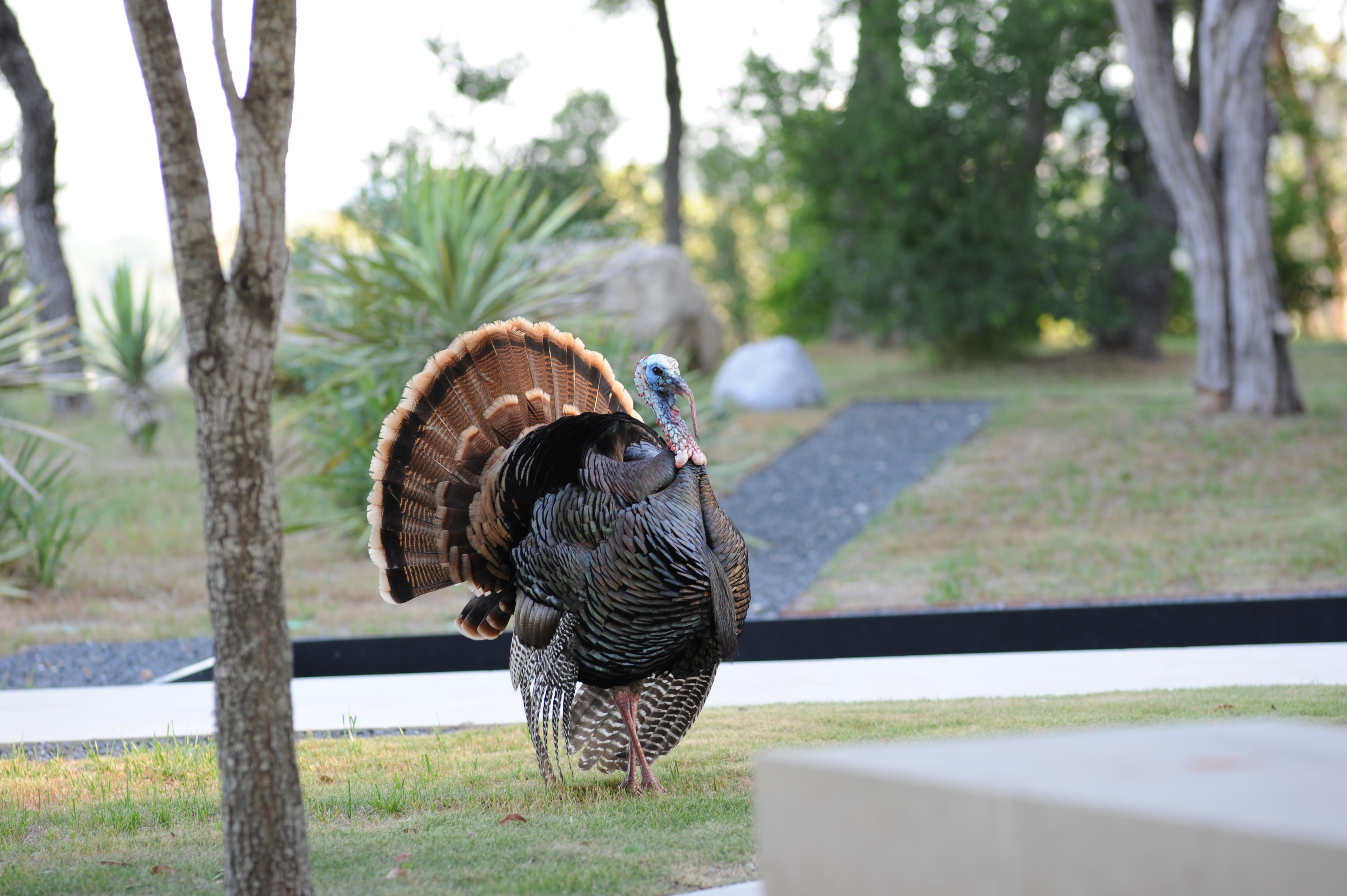 Male turkey on display